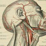 Какую роль выполняет сонная артерия