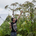 Укол зонтиком: как лечить ожоги от борщевика Сосновского